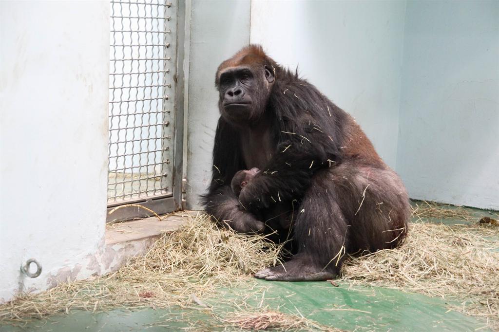上海动物园的一头名叫阿斯特拉的大猩猩在辛苦怀胎8