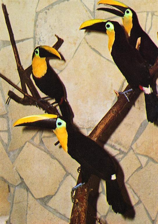 野生巨嘴鸟为南美洲热带丛林中的特有动物,大都分布在亚马逊河流域