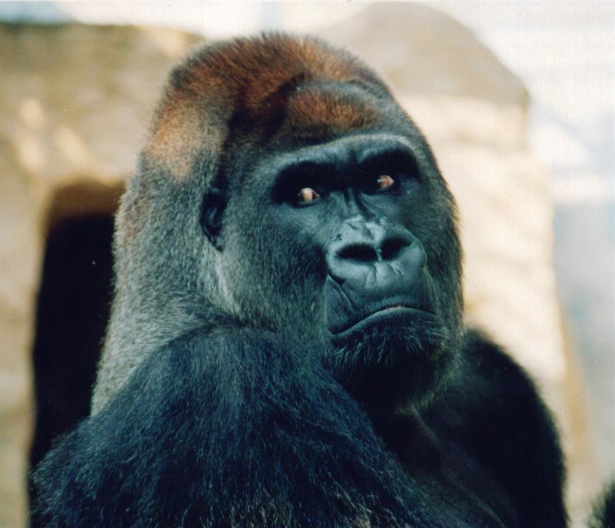 """我饲养的动物是灵长类四大类人猿中体形最大、食量最大、力量最大的大猩猩。据说大猩猩在热带雨林中连狮子、大象都要让它三分。可见它的力量是多么的强大。但还须告诉你们一点,它的生活中虽然是吃素的,但它嘴里生长的一对大牙可不是""""吃素""""的,可以轻易地咬穿和撕开来犯者的皮肤。我饲养的大猩猩名字叫""""博罗曼"""",现年30岁,体重约180千克,它继承和遗传了祖先的性格和脾气,如警觉敏感和多疑、力量大。因此我在饲养""""博罗曼""""时,首先与它建立感情和信任,特别是"""