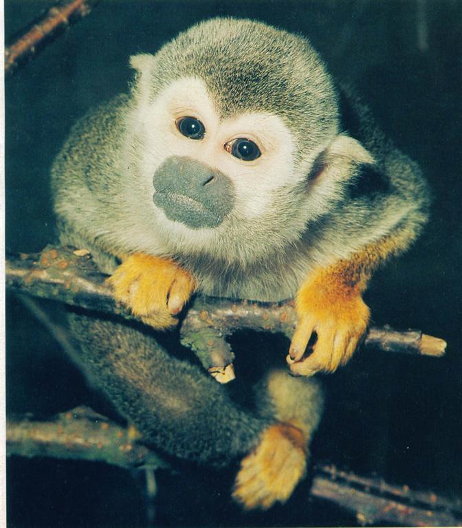 我叫松松,我的大名叫松鼠猴。老家在南美洲,栖息于亚马逊河两岸的密林中。2003年8月11日在上海动物园诞生。我长得非常可爱。大眼睛、长尾巴、身披绿色体毛。出生时体重才100多克,非常机灵,但胆子很小。妈妈生下我后,身体虚弱,无力喂养哺育我。从此我就由饲养员们来带我。出生后第二天起我就跟着饲养员阿姨,一只小盒子成了我的小屋。阿姨每隔两小时用针筒给我喂一次奶,24小时精心呵护我,阿姨下班带着我回家,星期天也在阿姨家过。怕我胆子受惊吓,她每次喂奶都会穿同一件衣服。渐渐地我长大了,小屋再也容纳不了。三个多月大时,