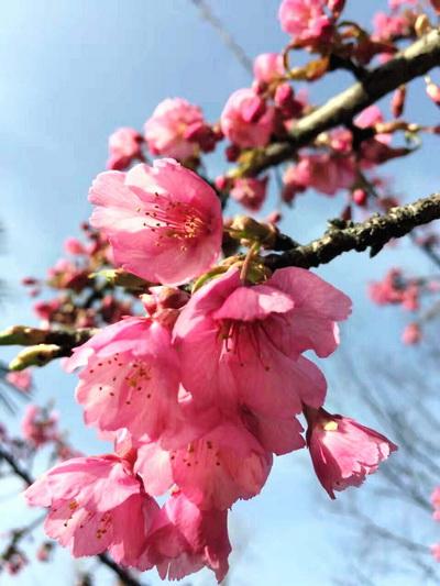 别名:绯寒樱,钟花樱桃