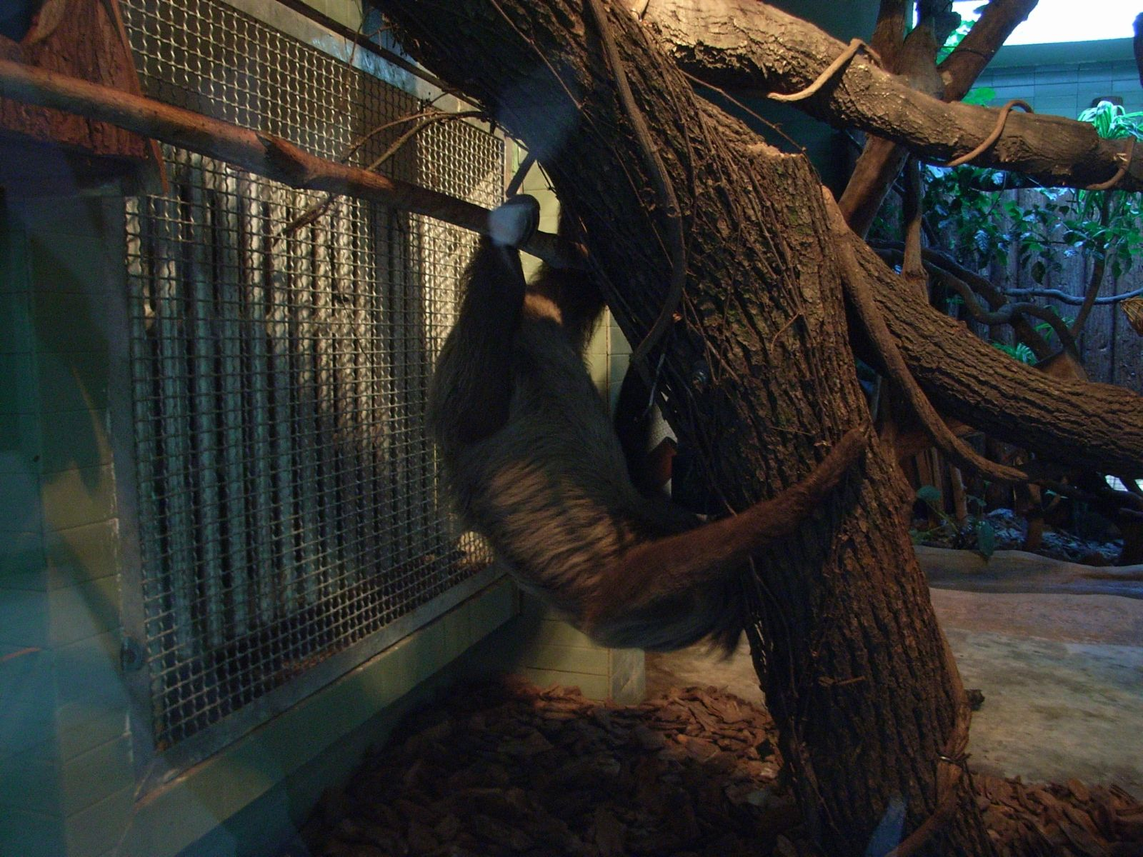 上海动物园新引进树懒正式对外展出