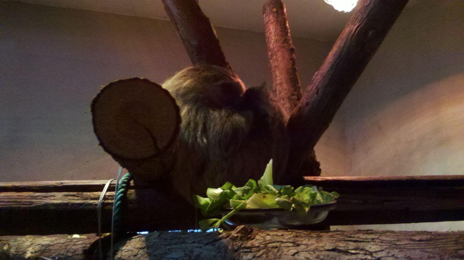"""上海动物园前一段时间从圭亚那引进的二趾树懒已完成检疫流程,经过相关部门批准,于11月14日在灵长三馆绒猴展区正式展出。由于树懒属于热带动物,所有特地为其安排在带有恒温功能的室内展出。从玻璃外墙看以将整个展区环境一览无余,展区内利用树杆架起了多个攀爬架供树懒活动玩耍。由于树懒喜欢栖息在树上的特性,展区的环境也尽可能地模拟出树懒熟悉的热带森林的特征,树叶、泥土、温度都力求与原住环境相近,减少其初来动物园的不适应感。 第一次见到树懒的人,常常把它和树袋熊,也就是我们俗称的""""考拉""""混为一谈"""