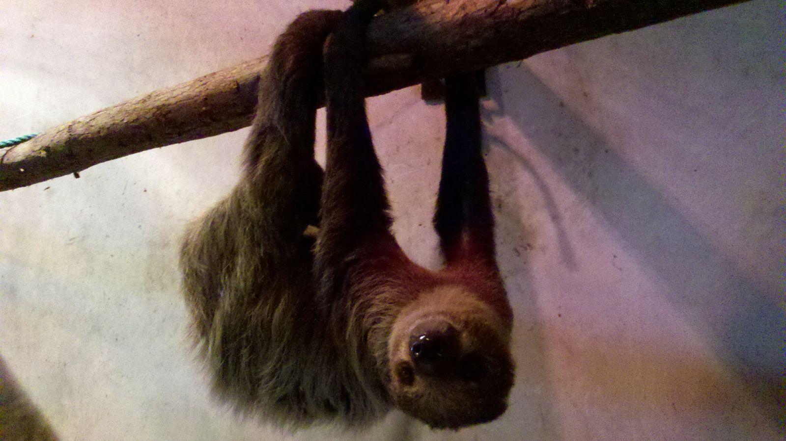 天生萌物,树上宝贝——二趾树懒从圭亚那落户上海动物园