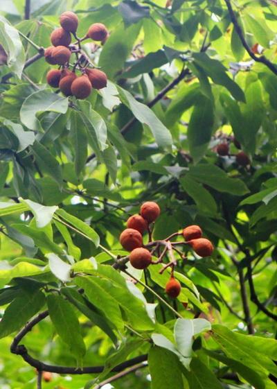 果实缀满枝——古猗园百岁七叶树果实