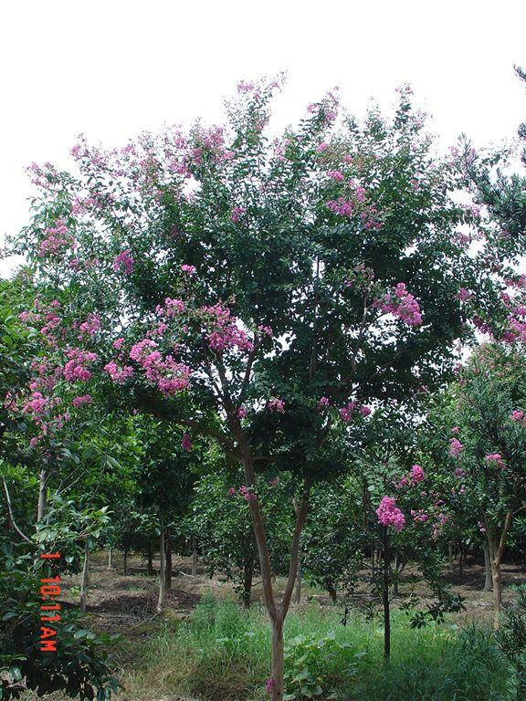 【乔木/灌木】紫薇 - 园林植物